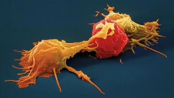 中华中医药学刊:水蛭具有多方面的抗肿瘤作用,药物开发前景较为广阔