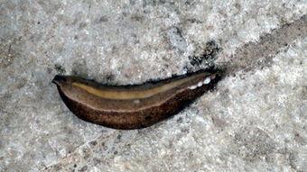 我国传统的特种药用水生动物——蚂蟥